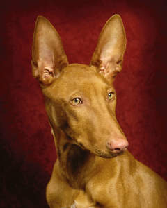 A close up of a Pharaoh Hound's beautiful short coat and large, pointed ears