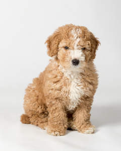 An incredible little Spanish Water Dog puppy sitting neatly