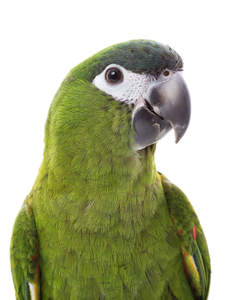 A close up of a Red Shouldered Macaw's beautiful green chest and white face
