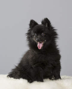 A young black German Spitz (Klein) ready for a game