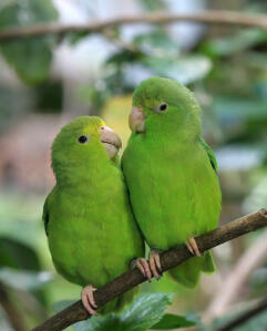Two Blue Winged Parrotlets perched on a branch