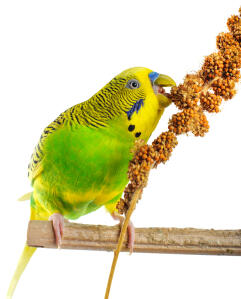A lovely Budgerigar feeding on it's perch