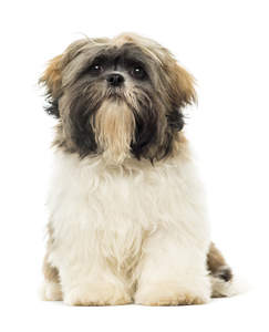 A wonderful, little Shih Tzu showing off it's beautiful white coat and scruffy beard