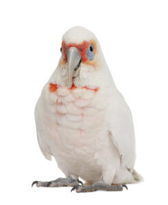 A Little Corella with lovely peach coloured face feathers