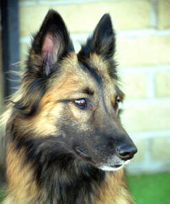 A close up of a Belgian Tervuren's wonderful, pointed ears