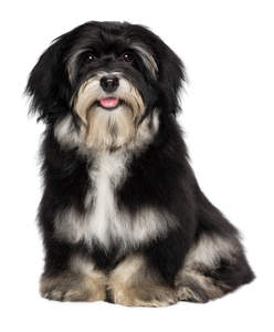an adult Havanese sitting down