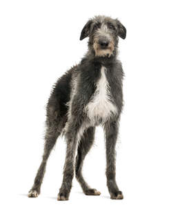 A healthy young adult Scottish Deerhound with a typical grey and white coat