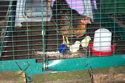 Chicks with foster mum Harriet