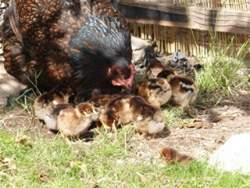Barnevelder chicks