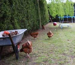 Chooks in the garden with the cat.