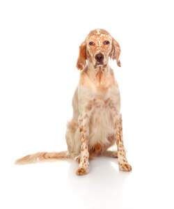 A red and white coated English Setter, awaiting a commond