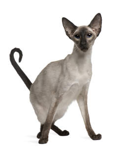 A lovely long legged balinese cat