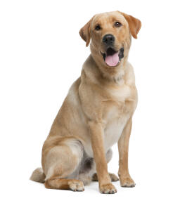 A healthy adult Labrador sitting, waiting for some attention from it's owner