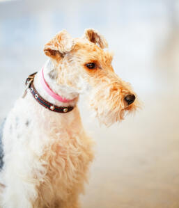 A Wire Fox Terrier's wonderful, long nose and wiry ears