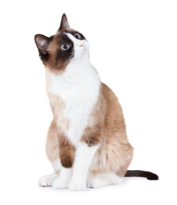 A pretty Snowshoe cat