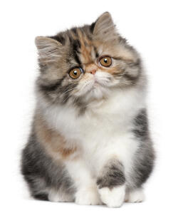 A Calico coloured persian kitten