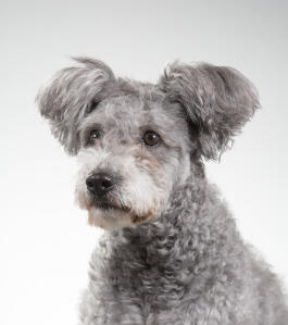 A Hungarian  Pumi with fluffy ears waiting for a command