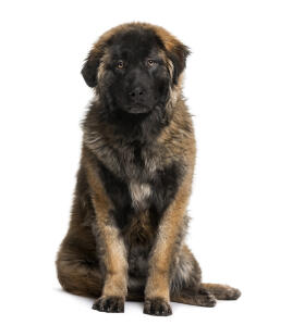 A beautiful, young Leonberger with a short, thick puppy coat