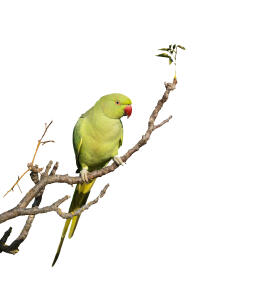 A wonderful Rose Ringed Parakeet perched on a branch