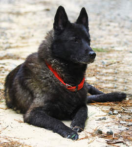 A healthy adult Norwegian Elkhound with a beautiful dark coat