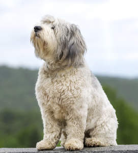 A handsome Polish Lowland Sheepdog enjoying the country breeze