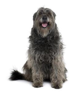 A Catalan Sheepdog showing off it's wonderful beard
