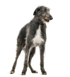 A beautiful Scottish Deerhound standing to attention on its lovely, tall legs