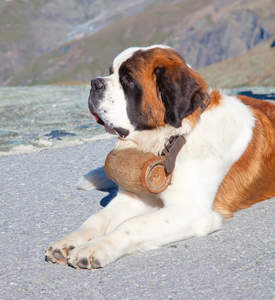 A wonderful adult Saint Bernard lying neatly on the ground