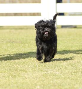 A happy little affenpinscher running along the grass