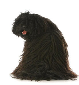 A healthy adult Puli with a wonderful, thick dreadlock style coat