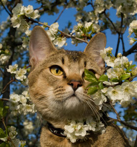 An adventurous Pixie Bob Cat exploring the trees