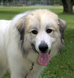 A close up of a Pyrenean Mountain Dog's beautiful, soft, white coat