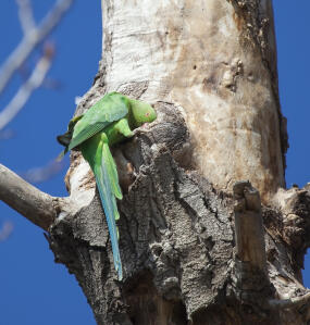 A Vernal Hanging Parrot's incredible, long, green tail feathers