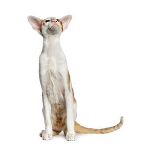 A pretty ginger bicolour Oriental cat