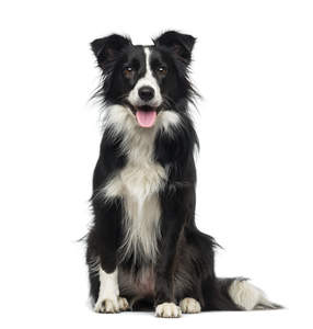 A very healthy and active young adult Border Collie
