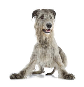 A lovely, young Irish Wolfhound ready to play