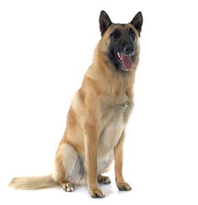 A lovely Belgian Shepherd Dog (Malinois) sitting down
