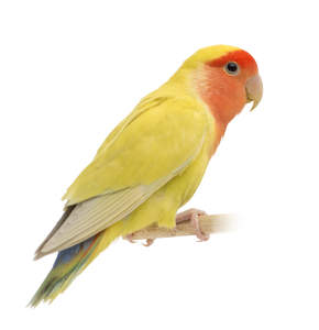 A Rosy Faced Lovebird's lovely, yellow wings and pink beak