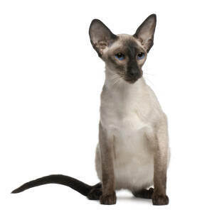 A balinese cat with large ears and deep blue eyes