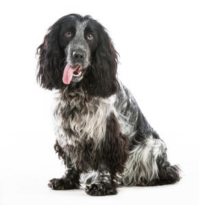 A lovely, little, scruffy coated English Cocker Spaniel with it's tongue out