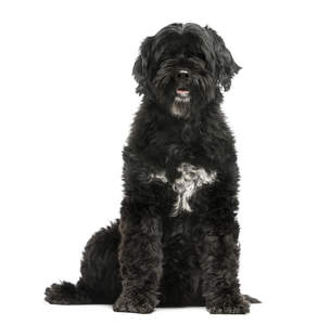 A healthy adult Portuguese Water Dog with a wonderful thick black coat