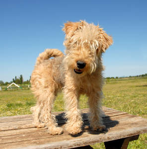 A lovely little Lakeland Terrier standing up on top of a picnic table