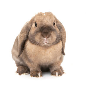 The wonderful round face of a Dwarf Lop rabbit