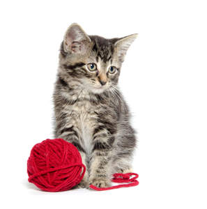 A cute american shorthair kitten with a ball of wool
