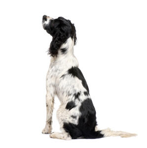 A beautiful young adult English Springer Spaniel with a long black and white coat