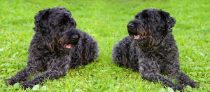Two dark coated Kerry Blue Terrier lying neatly on the grass