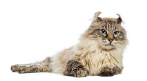 A fluffy american curl with distinctive ears
