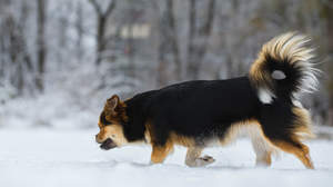A Tibetan Spaniel with a beautiful bushy tail, enjoying some exercise in the snow