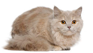 A pale british longhait cat with amber eyes