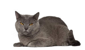 a plush coated chartreux cat lying down